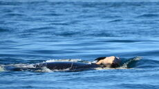Orka z martwym młodym (Michael Weiss Center/Whale Research/WhaleResearch.com)