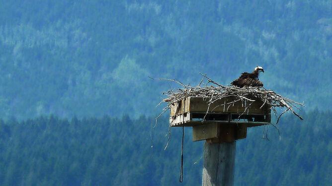 Wiatr strąca gniazda tych rzadkich ptaków. Powstaną specjalne platformy