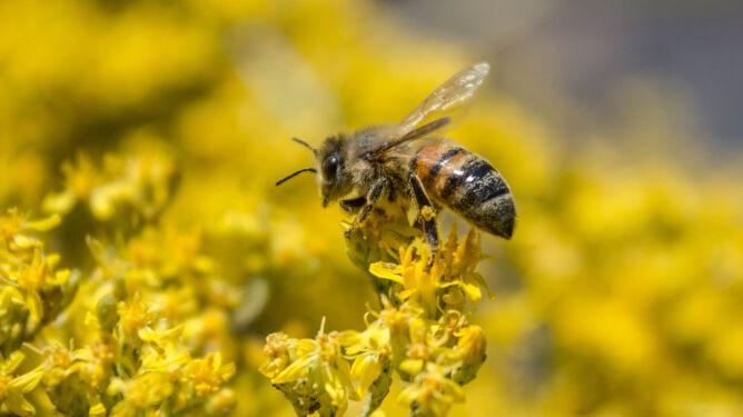 Jak ważna jest rola pszczół? Bez nich ludzkość może mieć poważny problem