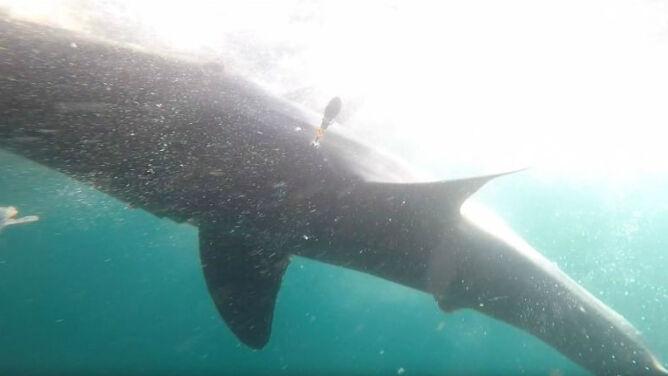 Żarłacz biały u wybrzeży Kanady. Widziano go pierwszy raz