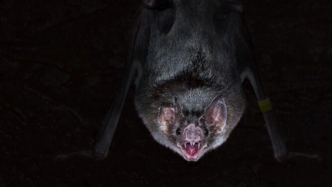 Nawet nietoperze zachowują dystans społeczny, kiedy są chore