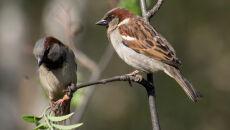 Ubyło ponad 40 mln brytyjskich ptaków. Prawie połowa z nich to wróble